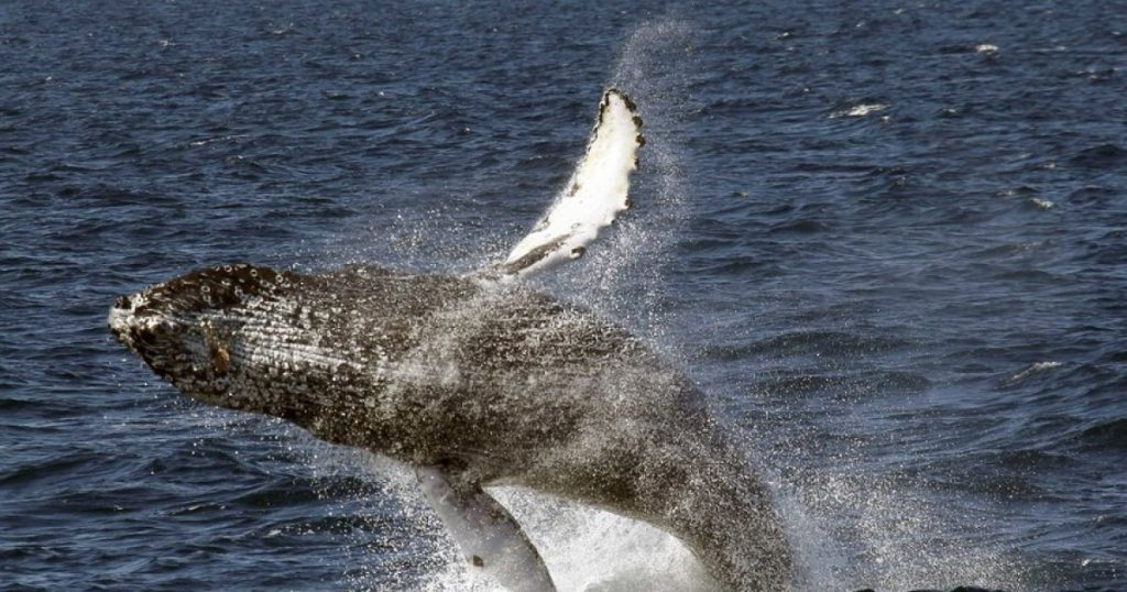 What's tangling up the humpback whales? A food chain snarled by climate change
