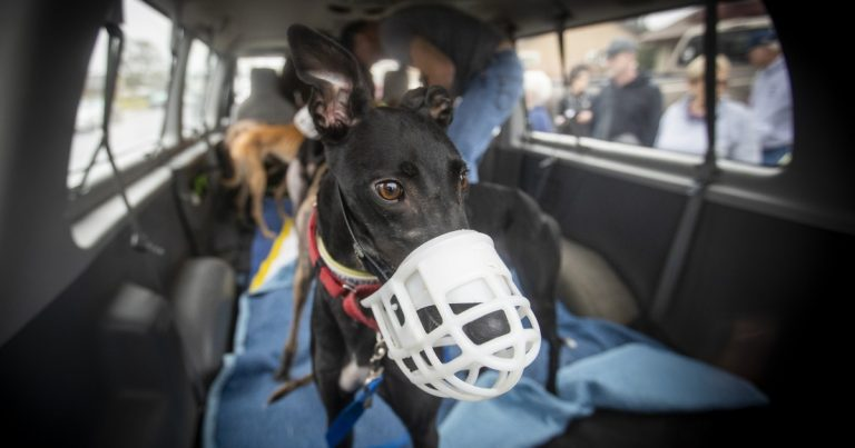 Greyhound group's challenge is to turn racing machine into a pet