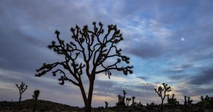 Scientists say Joshua trees may warrant listing as a threatened species