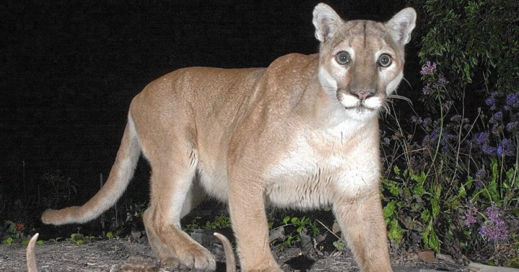 Southern California cougars get temporary endangered species status