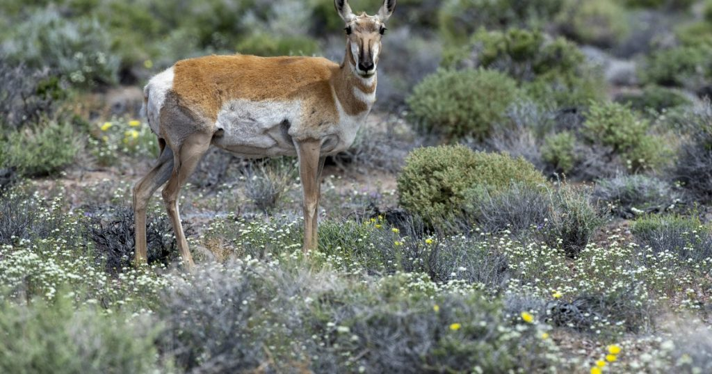 Why have pronghorn antelope returned to Death Valley?