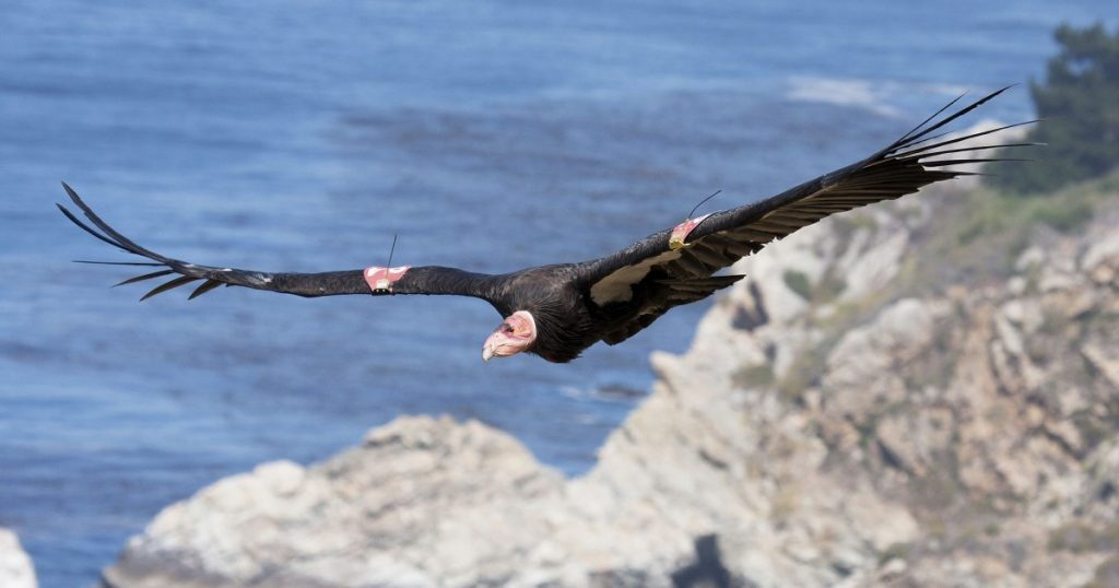 California condors in Sequoia National Park, a first in 50 years
