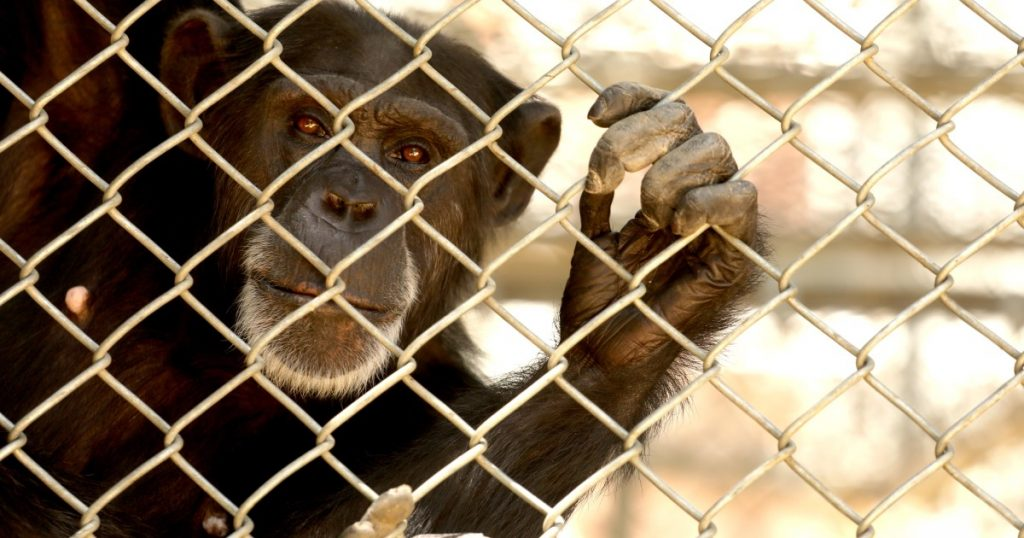 32 stranded chimpanzees need permanent new homes