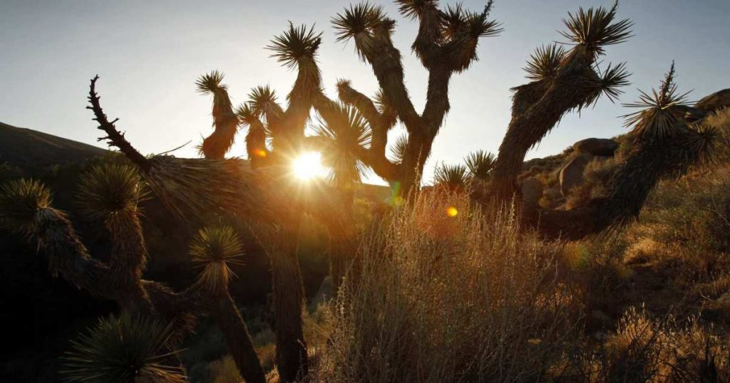 Clean energy fights endangered status for Joshua trees