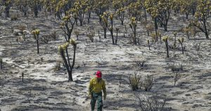 Mojave Desert fire destroyed the heart of Joshua Tree forest