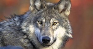 "Trump administration to drop gray wolf from ""endangered"" list"