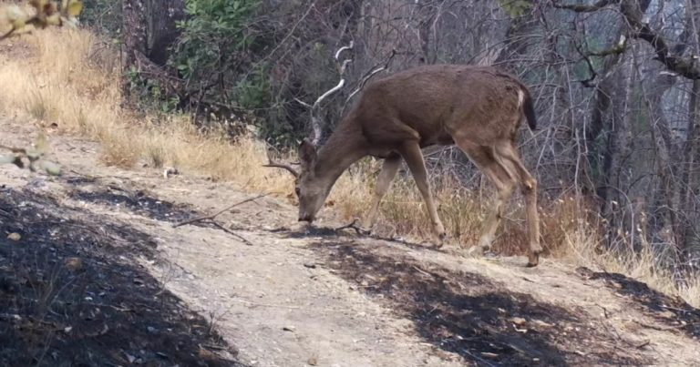 After California wildfire, animals begin to return to parks