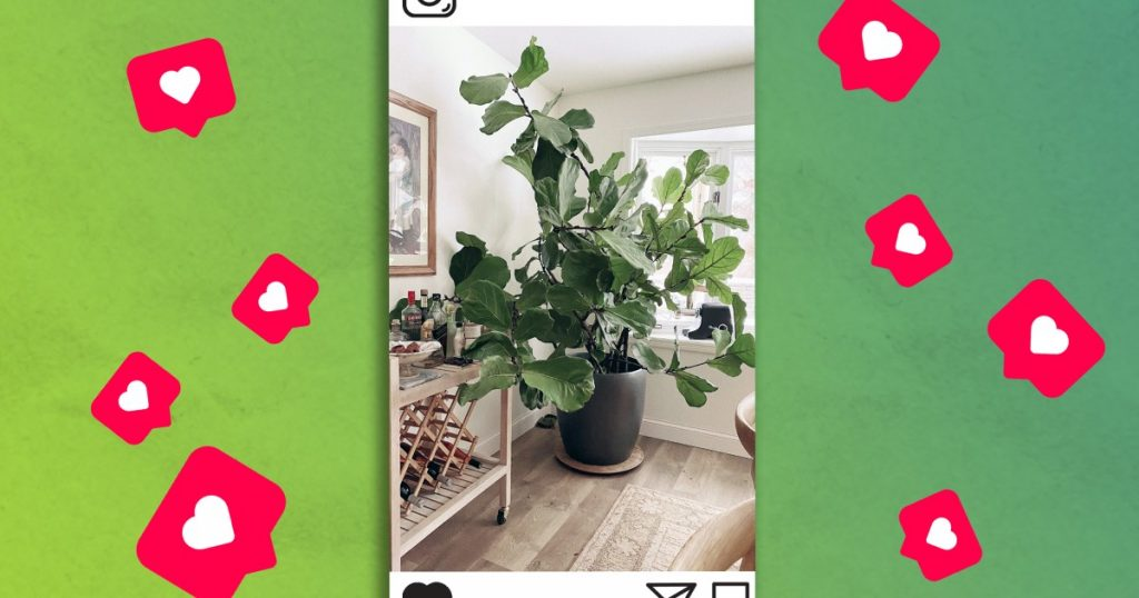How a fiddle leaf fig became an Instagram influencer