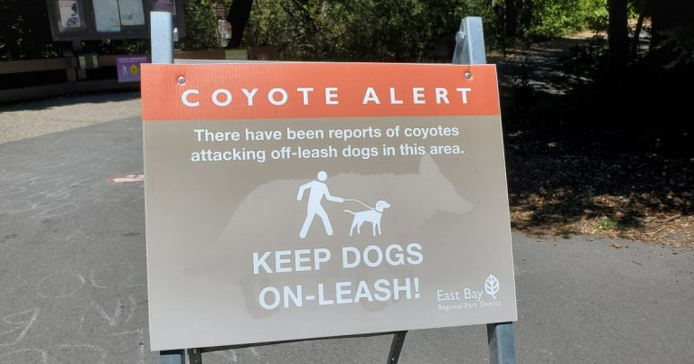 East Bay coyote that attacked five people trapped, killed