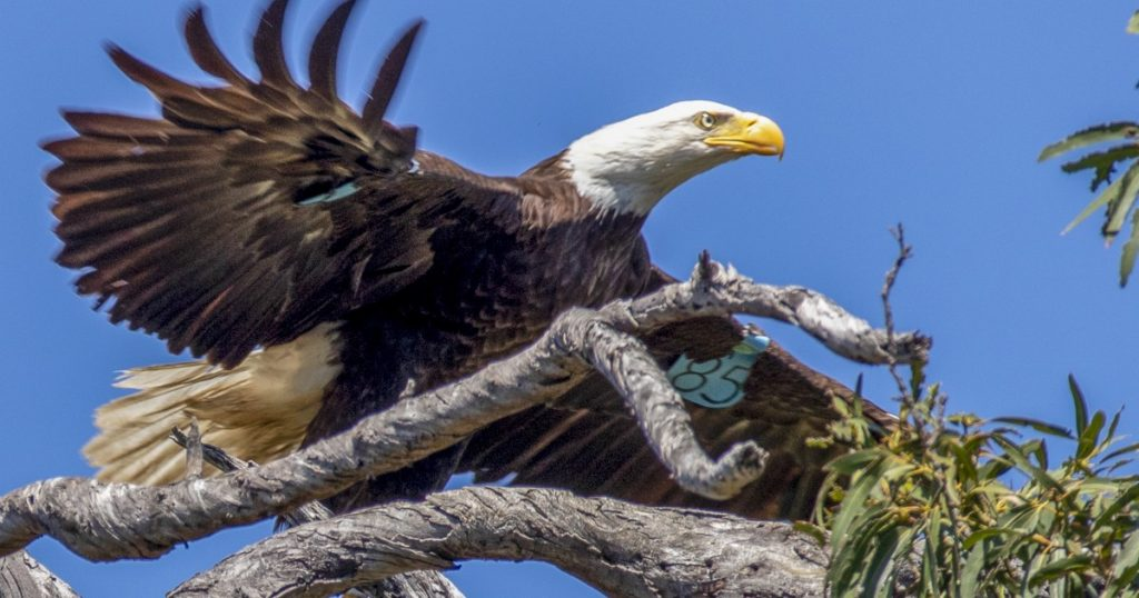 Bald eagle numbers are soaring in conservation success story