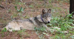 A gray wolf's long trek from from Oregon to California