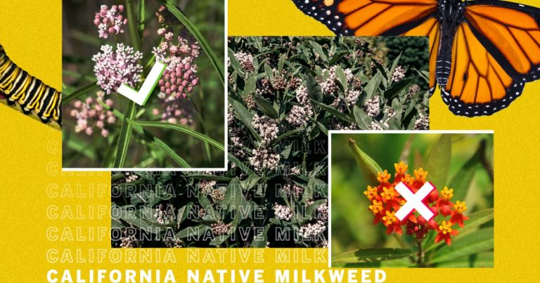 How to find native milkweed for monarch butterflies