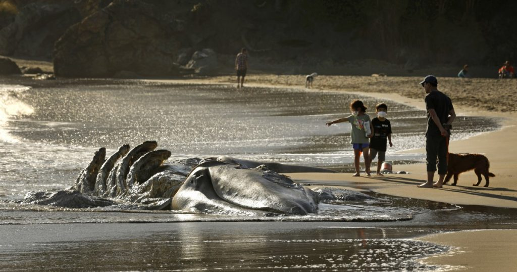 A dozen dead whales have washed ashore in the Bay Area