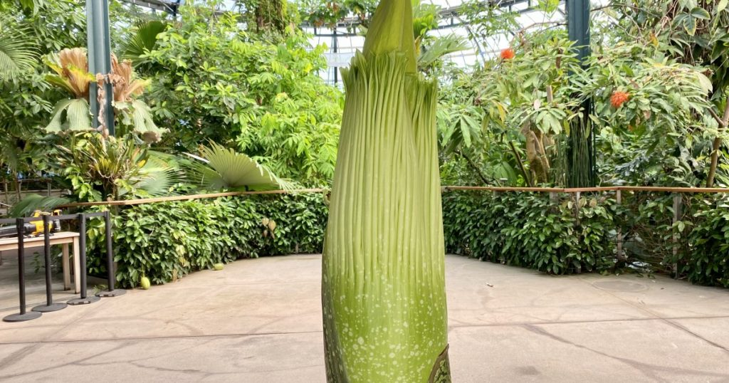 Biggest L.A. corpse flower at the Huntington: What to know
